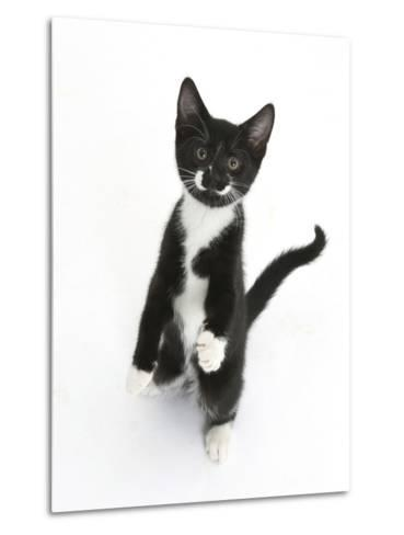 Black and White Tuxedo Kitten, Tuxie, Standing Up on Haunches and Looking Up with Raised Paws-Mark Taylor-Metal Print