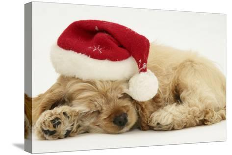 Buff American Cocker Spaniel Puppy, China, 10 Weeks Old, Asleep with Father Christmas Hat On-Mark Taylor-Stretched Canvas Print