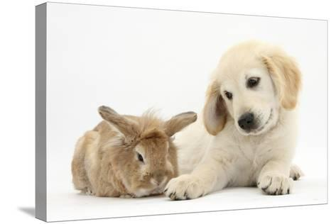 Lionhead Cross Rabbit, Tedson, and Golden Retriever Dog Puppy, Oscar, 3 Months-Mark Taylor-Stretched Canvas Print