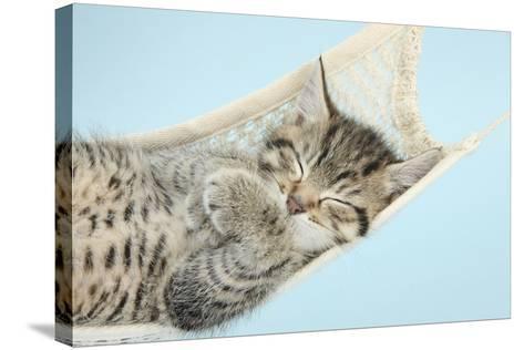 Cute Tabby Kitten, Stanley, 7 Weeks, Sleeping in a Hammock-Mark Taylor-Stretched Canvas Print