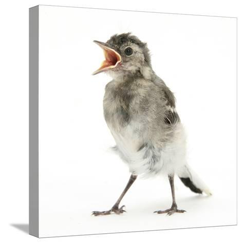 Fledgling Pied Wagtail (Motacilla Alba) Portrait Standing Upright and Calling-Mark Taylor-Stretched Canvas Print