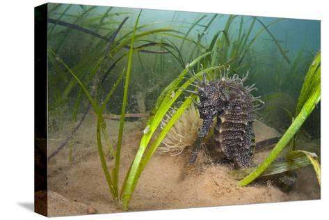 Yellow - Spiny Seahorse Female Sheltering in Meadow of Common Eelgrass, Studland Bay, Dorset, UK-Alex Mustard-Stretched Canvas Print