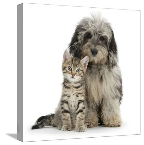 Tabby Kitten 8 Weeks, with Fluffy Black and Grey Daxie Doodle (Daschund Poodle Cross) Puppy-Mark Taylor-Stretched Canvas Print