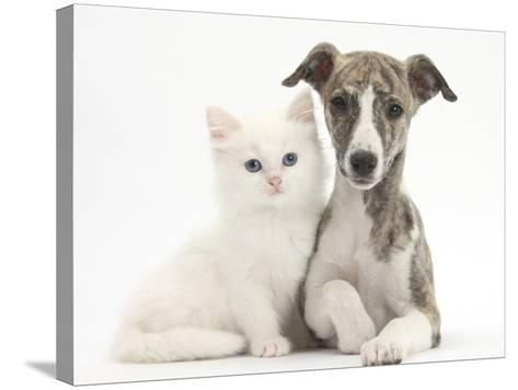Brindle-And-White Whippet Puppy, 9 Weeks, with White Maine Coon-Cross Kitten-Mark Taylor-Stretched Canvas Print