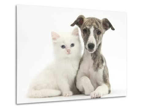 Brindle-And-White Whippet Puppy, 9 Weeks, with White Maine Coon-Cross Kitten-Mark Taylor-Metal Print