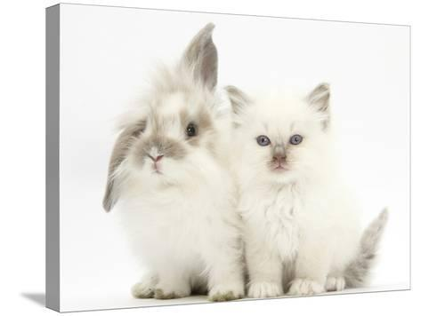 Young Windmill-Eared Rabbit and Matching Kitten-Mark Taylor-Stretched Canvas Print