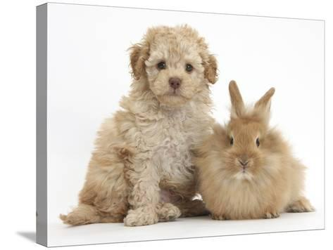 Toy Labradoodle Puppy and Lionhead-Cross Rabbit-Mark Taylor-Stretched Canvas Print