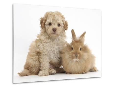 Toy Labradoodle Puppy and Lionhead-Cross Rabbit-Mark Taylor-Metal Print