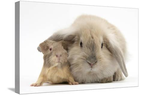 Young Windmill-Eared Rabbit and Matching Guinea-Pig-Mark Taylor-Stretched Canvas Print