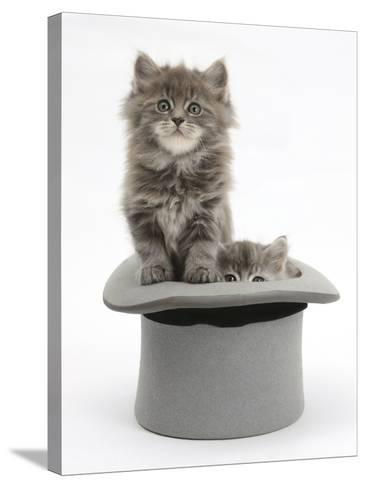 Two Maine Coon Kittens, 7 Weeks, in a Grey Top Hat-Mark Taylor-Stretched Canvas Print