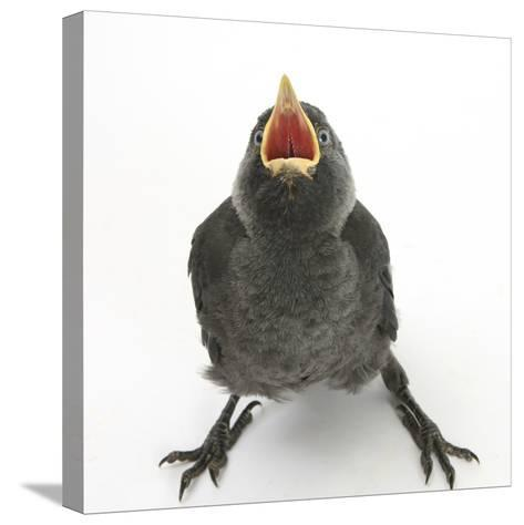 Baby Jackdaw (Corvus Monedula) Gaping to Be Fed-Mark Taylor-Stretched Canvas Print