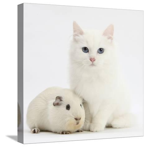 White Main Coon-Cross Kitten with White Guinea Pig-Mark Taylor-Stretched Canvas Print