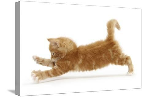 Ginger Kitten Jumping Forwards with Front Paws-Mark Taylor-Stretched Canvas Print