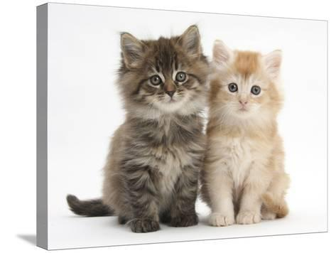 Maine Coon Kittens, 7 Weeks, Showing Different Colours-Mark Taylor-Stretched Canvas Print
