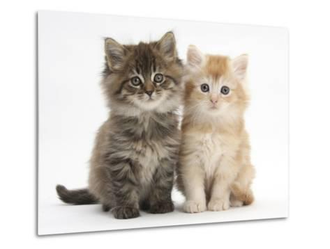 Maine Coon Kittens, 7 Weeks, Showing Different Colours-Mark Taylor-Metal Print