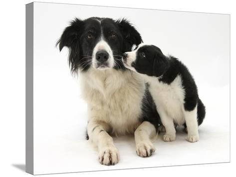 Black-And-White Border Collie Bitch, and Pup, 6 Weeks-Mark Taylor-Stretched Canvas Print
