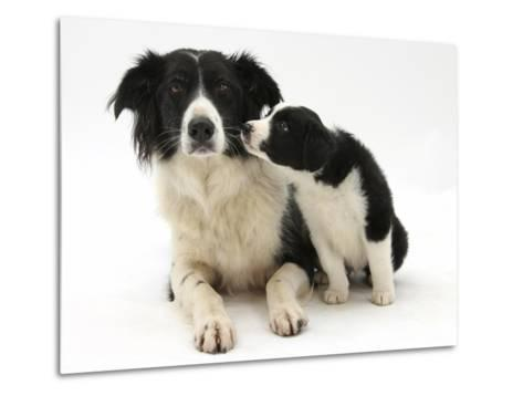 Black-And-White Border Collie Bitch, and Pup, 6 Weeks-Mark Taylor-Metal Print