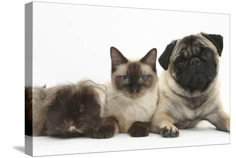 Fawn Pug, Burmese-Cross Cat and Shaggy Guinea Pig-Mark Taylor-Stretched Canvas Print