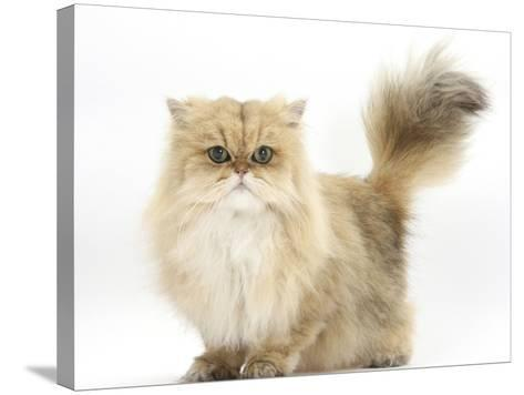 Golden Chinchilla Persian Female Cat, 6 Years-Mark Taylor-Stretched Canvas Print
