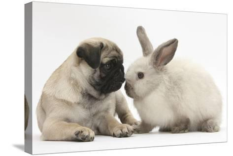 Fawn Pug Puppy, 8 Weeks, and Sooty Colourpoint Rabbit-Mark Taylor-Stretched Canvas Print