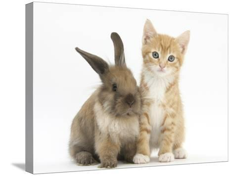 Ginger Kitten, 7 Weeks, and Young Lionhead-Lop Rabbit-Mark Taylor-Stretched Canvas Print