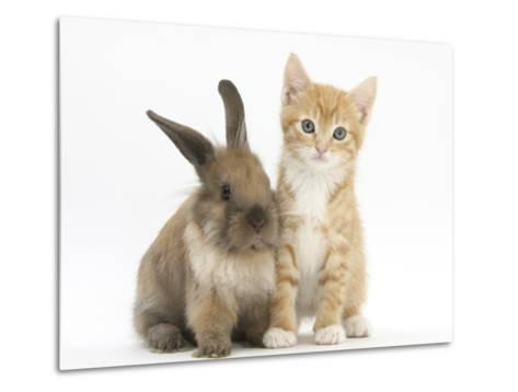 Ginger Kitten, 7 Weeks, and Young Lionhead-Lop Rabbit-Mark Taylor-Metal Print