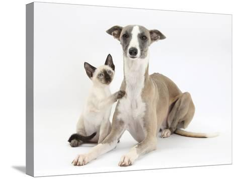 Whippet Bitch, with Siamese Kitten, 10 Weeks-Mark Taylor-Stretched Canvas Print