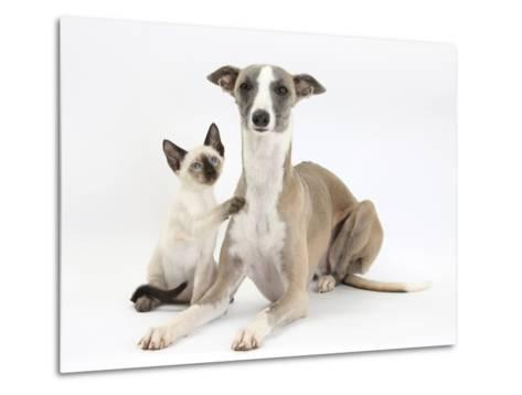 Whippet Bitch, with Siamese Kitten, 10 Weeks-Mark Taylor-Metal Print