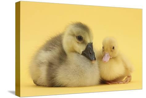 Yellow Gosling and Duckling on Yellow Background-Mark Taylor-Stretched Canvas Print