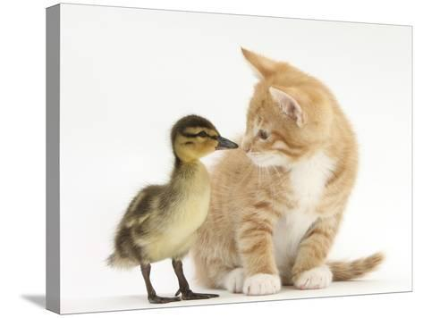 Ginger Kitten and Mallard Duckling, Beak to Nose-Mark Taylor-Stretched Canvas Print