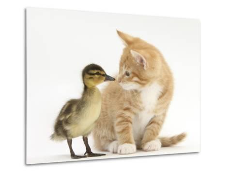 Ginger Kitten and Mallard Duckling, Beak to Nose-Mark Taylor-Metal Print