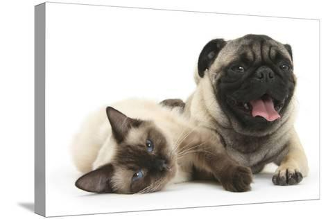 Fawn Pug and Birman-Cross Cat-Mark Taylor-Stretched Canvas Print