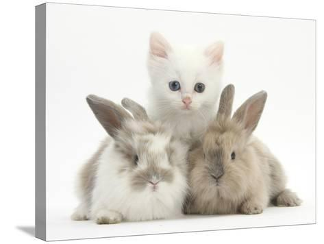 White Kitten and Baby Rabbits-Mark Taylor-Stretched Canvas Print