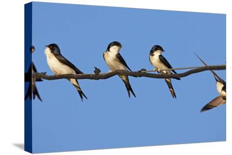 House Martins (Delichon Urbicum) Perched on Wire, with Another in Flight, Extremadura, Spain, April-Varesvuo-Stretched Canvas Print