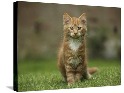 Portrait of a Ginger Kitten on Grass-Mark Taylor-Stretched Canvas Print