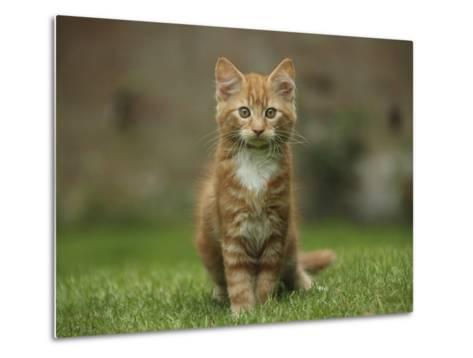 Portrait of a Ginger Kitten on Grass-Mark Taylor-Metal Print