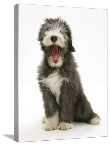 Blue Bearded Collie Puppy, 3 Months, Yawning-Mark Taylor-Stretched Canvas Print