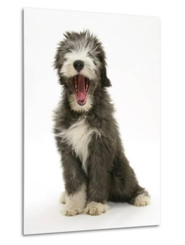 Blue Bearded Collie Puppy, 3 Months, Yawning-Mark Taylor-Metal Print