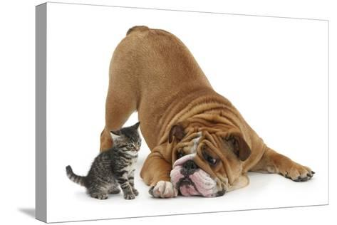 Bulldog with a Tabby Kitten, Fosset, 6 Weeks-Mark Taylor-Stretched Canvas Print