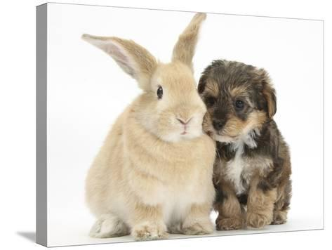Yorkipoo Pup, 6 Weeks Old, with Sandy Rabbit-Mark Taylor-Stretched Canvas Print