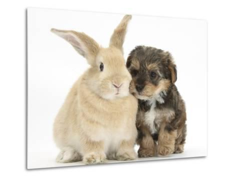 Yorkipoo Pup, 6 Weeks Old, with Sandy Rabbit-Mark Taylor-Metal Print