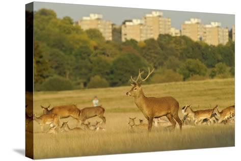 Red Deer (Cervus Elaphus) in Richmond Park with Roehampton Flats in Background, London, England, UK-Terry Whittaker-Stretched Canvas Print