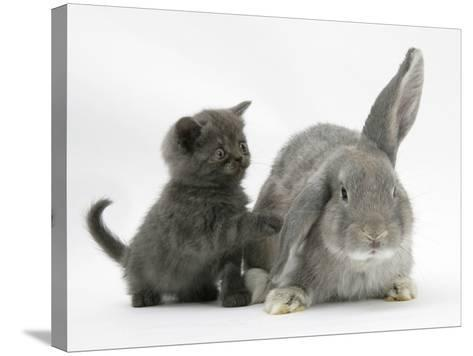 Grey Kitten with Grey Windmill-Eared Rabbit-Mark Taylor-Stretched Canvas Print