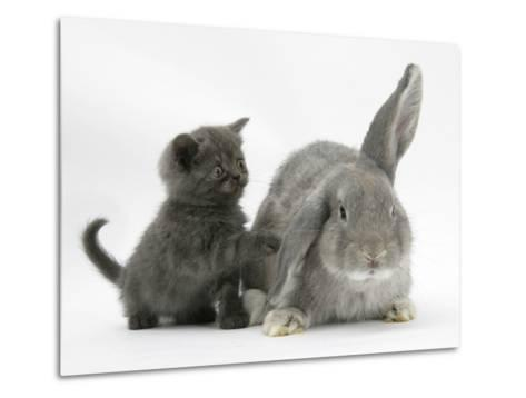 Grey Kitten with Grey Windmill-Eared Rabbit-Mark Taylor-Metal Print