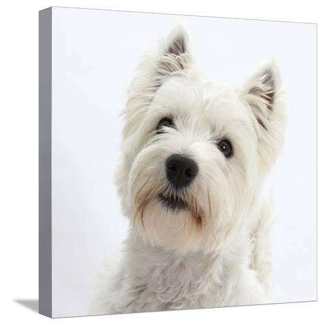 Portrait of a West Highland White Terrier-Mark Taylor-Stretched Canvas Print