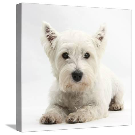 West Highland White Terrier Lying-Mark Taylor-Stretched Canvas Print