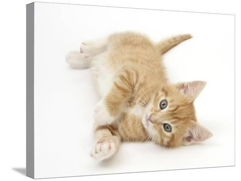 Ginger Kitten Rolling on His Back-Mark Taylor-Stretched Canvas Print