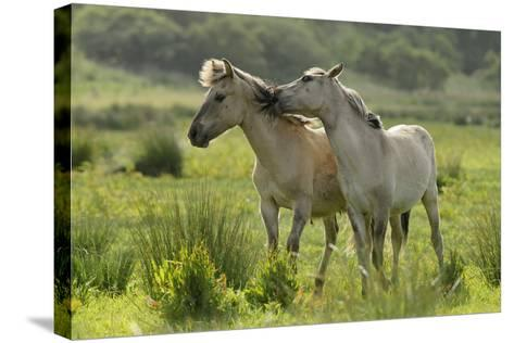 Konik Horses Mutual Grooming, Wild Herd in Rewilding Project, Wicken Fen, Cambridgeshire, UK, June-Terry Whittaker-Stretched Canvas Print