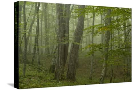 Forest with Beech Trees and Black Pines in Mist, Crna Poda Nr, Tara Canyon, Durmitor Np, Montenegro-Radisics-Stretched Canvas Print