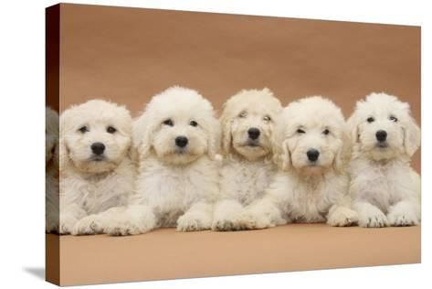 Five Labradoodle Puppies, 9 Weeks-Mark Taylor-Stretched Canvas Print